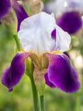 Kwiat głowa Irysowy Germanica zdjęcia stock
