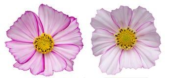Kwiat głowa kosmos zdjęcia royalty free