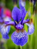 Kwiat głowa Syberyjski irys zdjęcie royalty free