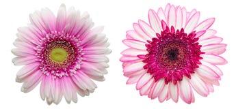 Kwiat głowa Transvaal stokrotka Fotografia Stock