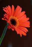 kwiat gerbera Zdjęcia Royalty Free