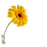 kwiat gerbera Zdjęcia Stock