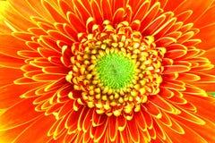 kwiat gerbera Zdjęcie Stock