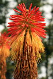 kwiat głowa Obrazy Royalty Free