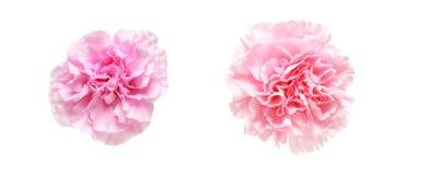 Kwiat głowa goździk Zdjęcie Royalty Free