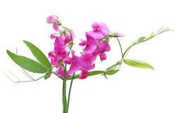 kwiat groszki sweet Zdjęcie Stock