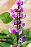 kwiat groszki sweet Zdjęcia Royalty Free