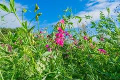 kwiat groszki sweet Zdjęcia Stock