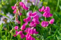 kwiat groszki sweet Zdjęcie Royalty Free
