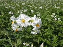 kwiat grule zdjęcia stock