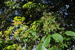Kwiat Gumowy drzewo Zdjęcia Stock