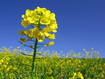 kwiat gwałtu Zdjęcie Stock