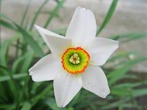 Kwiat gwiazda fotografia stock