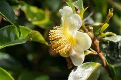 Kwiat herbata Fotografia Stock