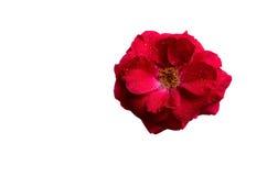 Kwiat herbata wzrastał z rosą Zdjęcia Royalty Free