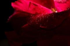 Kwiat herbata wzrastał z rosą w zmroku Fotografia Royalty Free