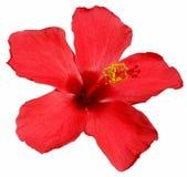 kwiat hibiskus Zdjęcia Royalty Free