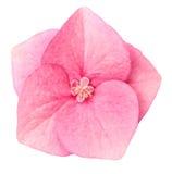 kwiat hortensja Fotografia Royalty Free