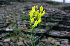 Kwiat i kamień Zdjęcia Stock