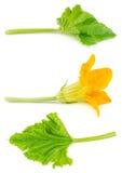Kwiat i liść zucchini odizolowywający Fotografia Stock