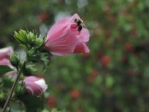 KWIAT I pszczoła Zdjęcia Royalty Free