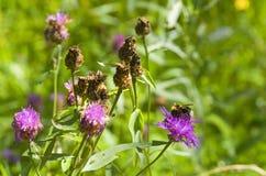 KWIAT I pszczoła Fotografia Royalty Free