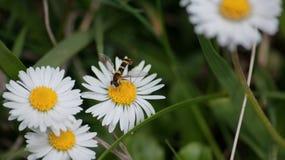 KWIAT I pszczoła Zdjęcia Stock