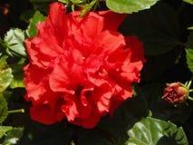 Kwiat i swój pączek fotografia stock