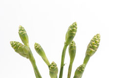 Kwiat imbir (Zingiber officinale Roscoe). Fotografia Stock