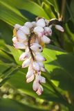 kwiat imbirowa roślinnych Obrazy Stock