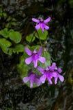 Kwiat Impatiens Fotografia Royalty Free