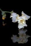 Kwiat irys, lat. Irys, odizolowywający na czarnych tło Obrazy Stock