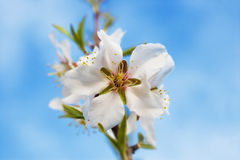 kwiat jabłkowego Fotografia Royalty Free