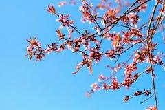 Kwiat jako Sakura na niebieskiego nieba tle Obrazy Stock