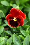 kwiat jaskrawy czerwień fotografia stock