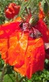 kwiat jaskrawy czerwień Zdjęcie Stock