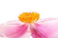 Kwiat jest Anemonowy zdjęcie stock