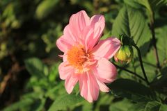 kwiat jest dalią Obraz Stock