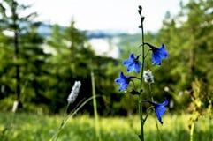 Kwiat jest dzwonem w halnej łące Obrazy Stock