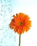 Kwiat jest iryguje na bławym zdjęcie stock