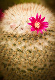 Kwiat kaktus Fotografia Stock