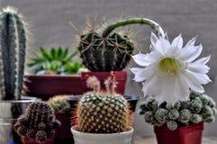Kwiat kaktus obrazy stock