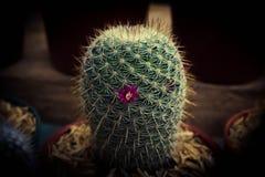 kwiat kaktusa z ogniska wybranych phpto up zdjęcia stock