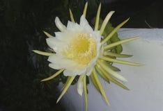 kwiat kaktusa z ogniska wybranych phpto up Obrazy Stock