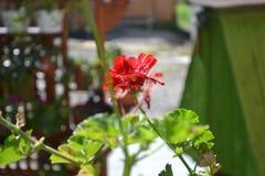 Kwiat Kalachik Zdjęcie Stock