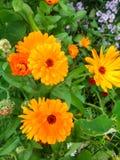 Kwiat Kalendula Zdjęcie Royalty Free