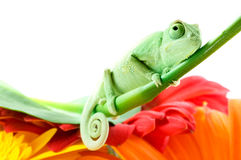 kwiat kameleona Obraz Stock