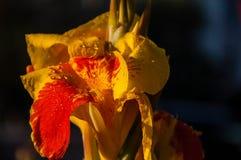 Kwiat kanny rewolucjonistka zdjęcia royalty free
