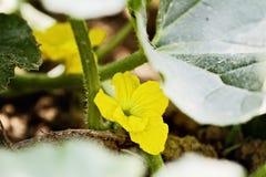 Kwiat kantalup Melonowa roślina zdjęcie royalty free