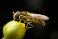 Kwiat komarnica Zdjęcia Stock